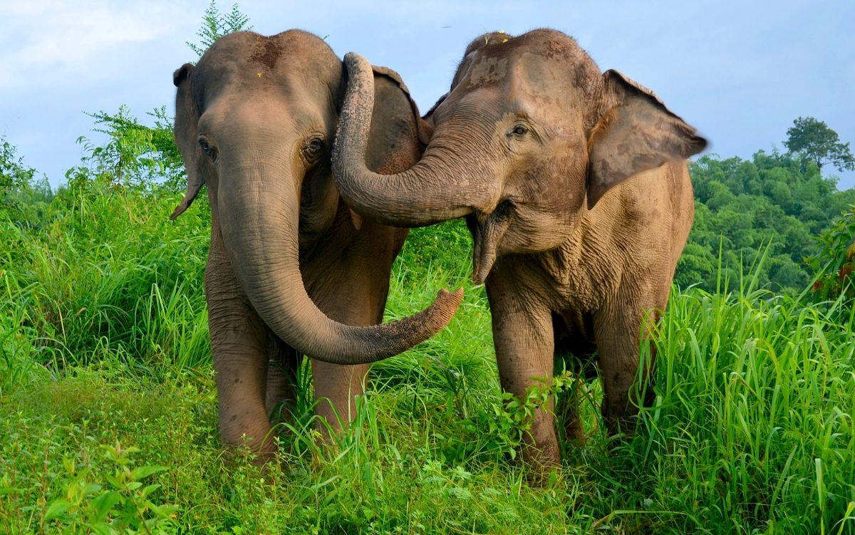 Cerebro de los elefantes