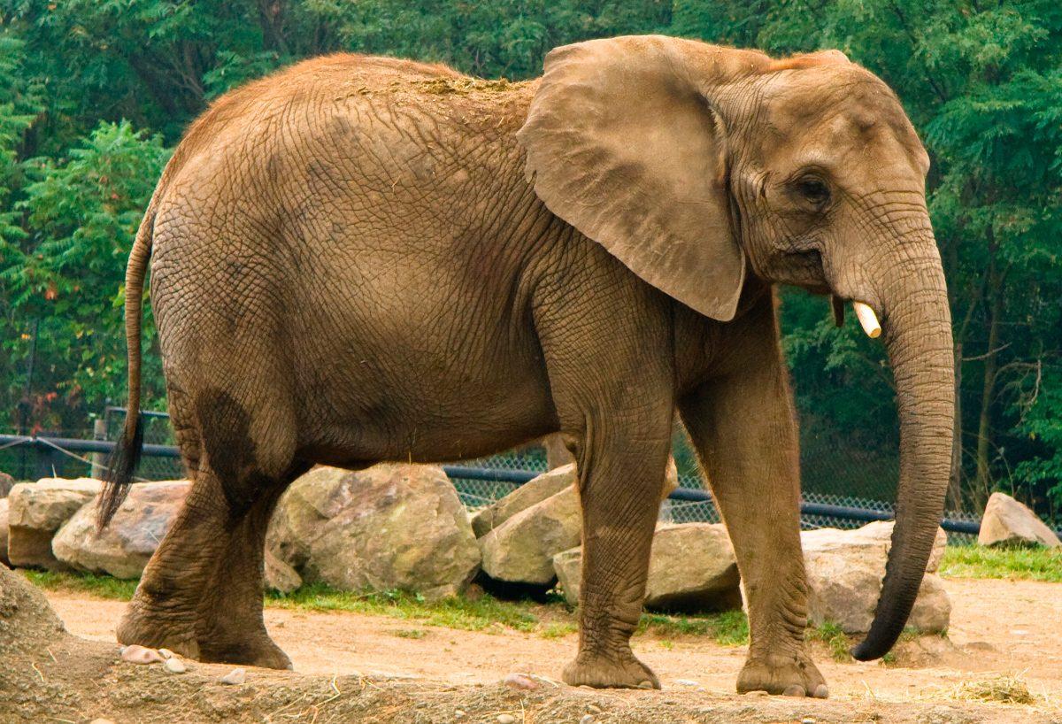 Elefante Trompa Hacia Abajo