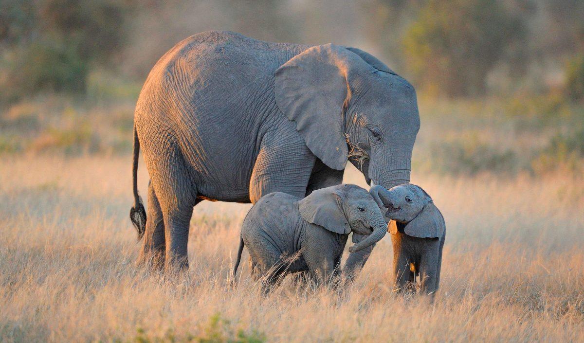 Información básica sobre los elefantes
