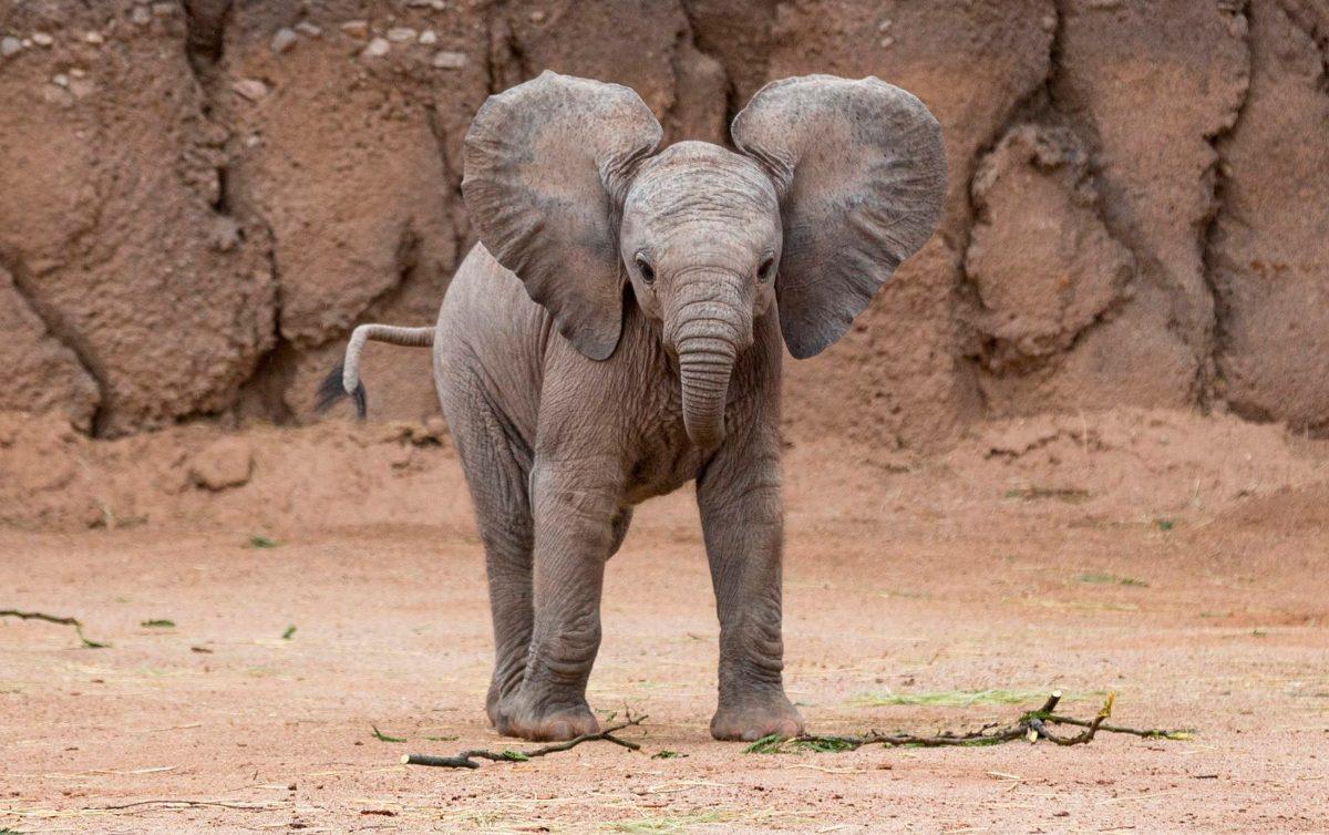 Diferencias de acuerdo al sexo del elefante :: Imágenes y fotos