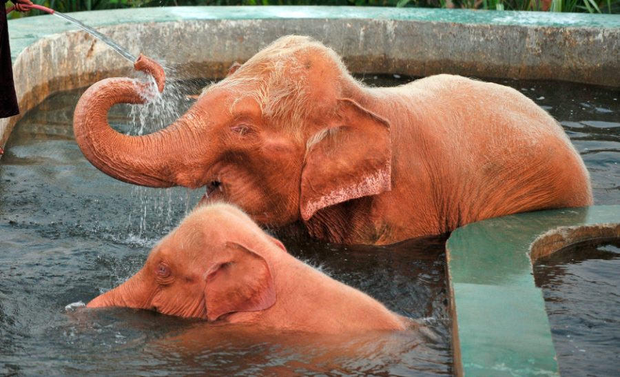 Elefantes albinos