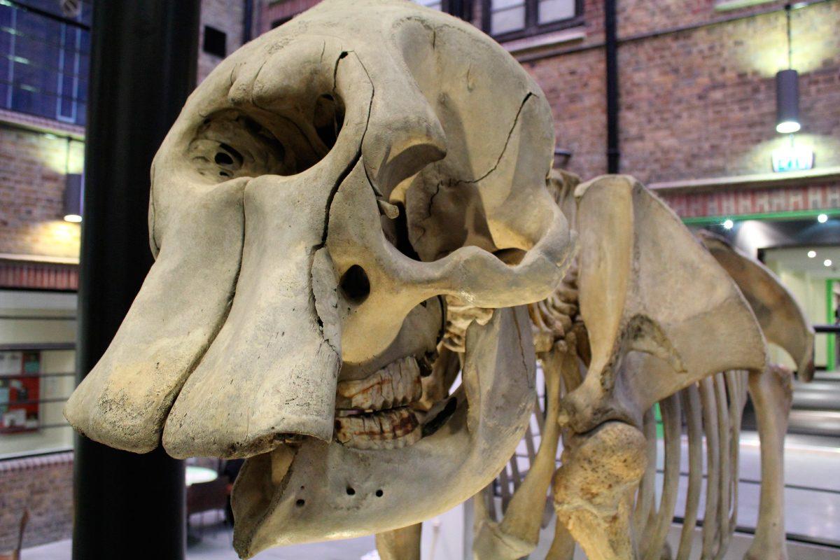 Esqueletos de los elefantes