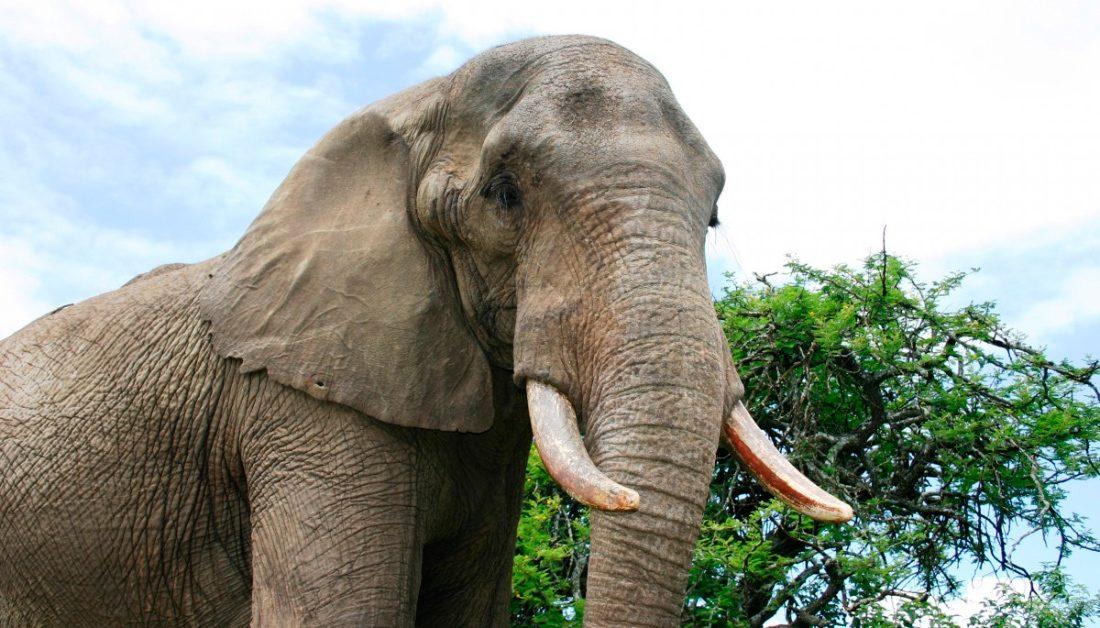 Galería de imágenes: Colmillos de los elefantes