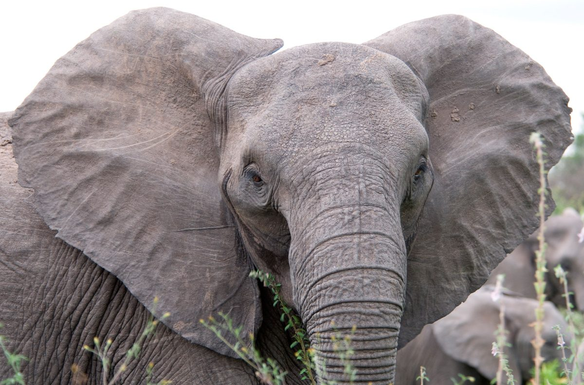 Fotos de orejas de los elefantes :: Imágenes y fotos