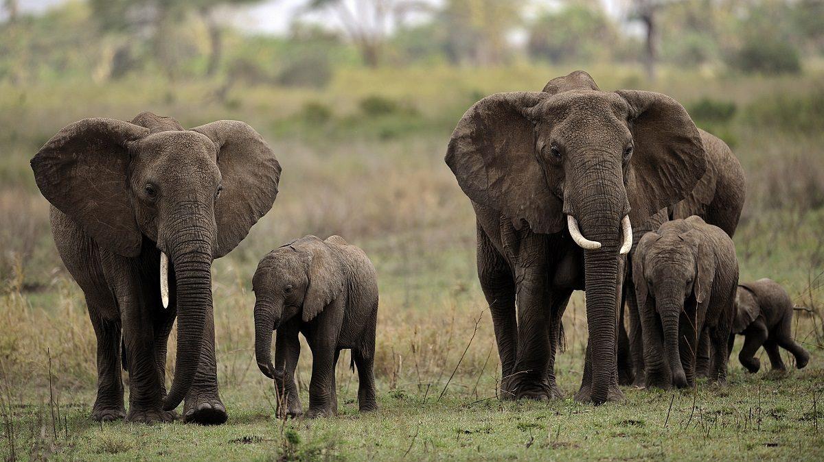 Elefantes Guía De Especies Información Básica Fotos Y Dibujos