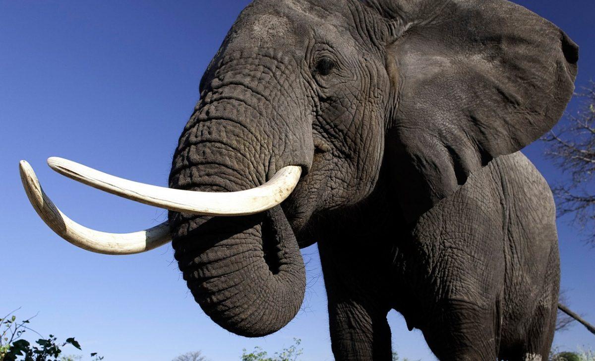 Colmillos de los elefantes