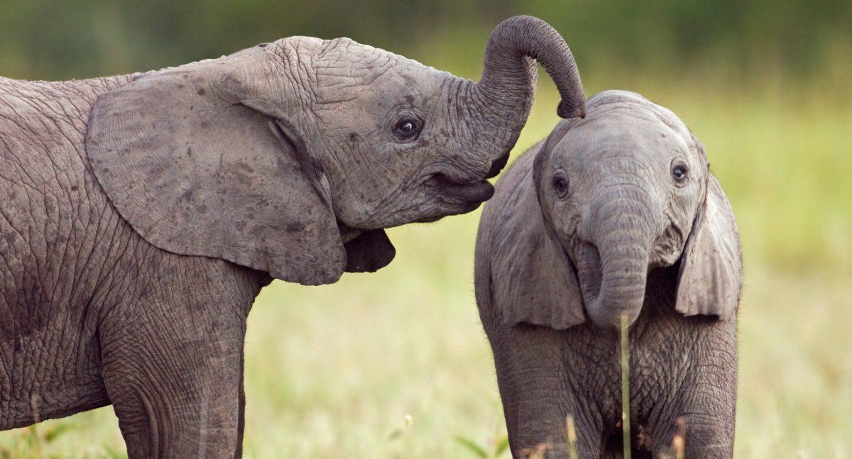 Inteligência dos elefantes (memória)