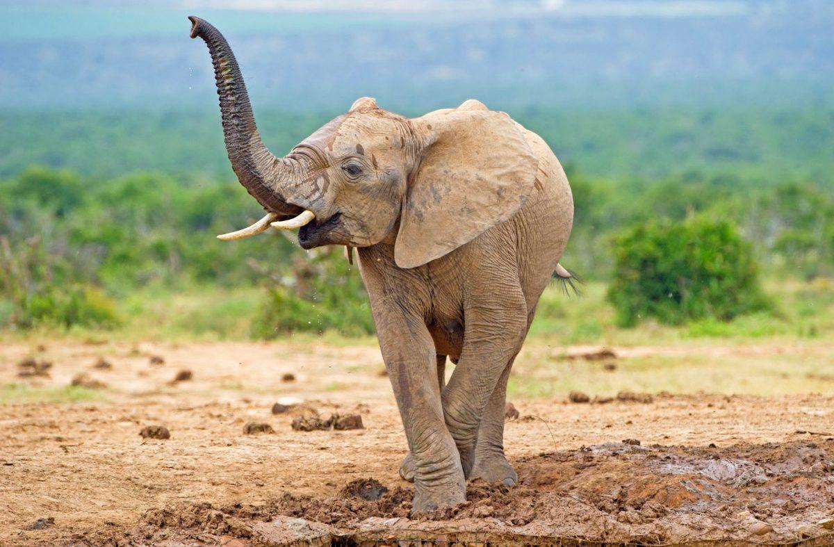 Inteligência dos elefantes