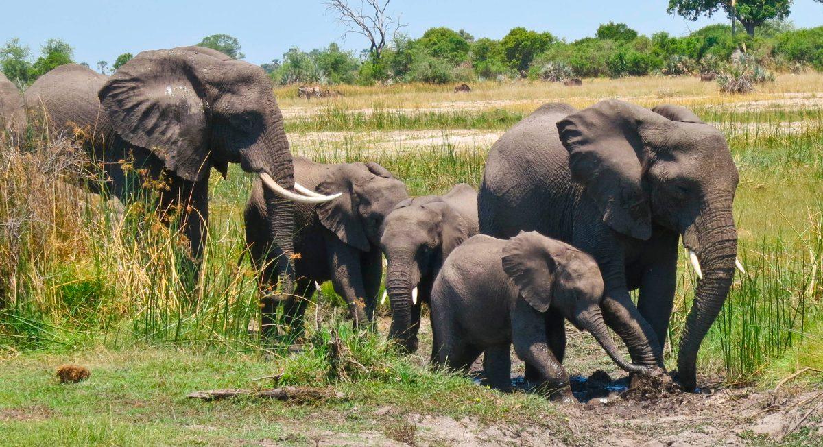 Manadas de elefantes