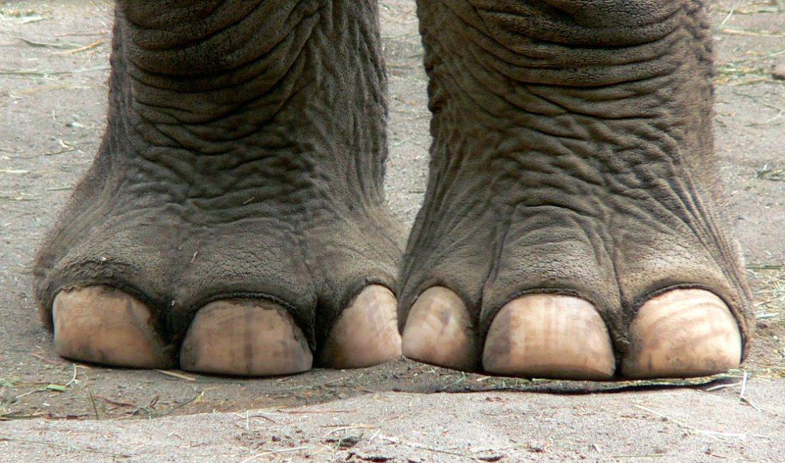Pies de los elefantes