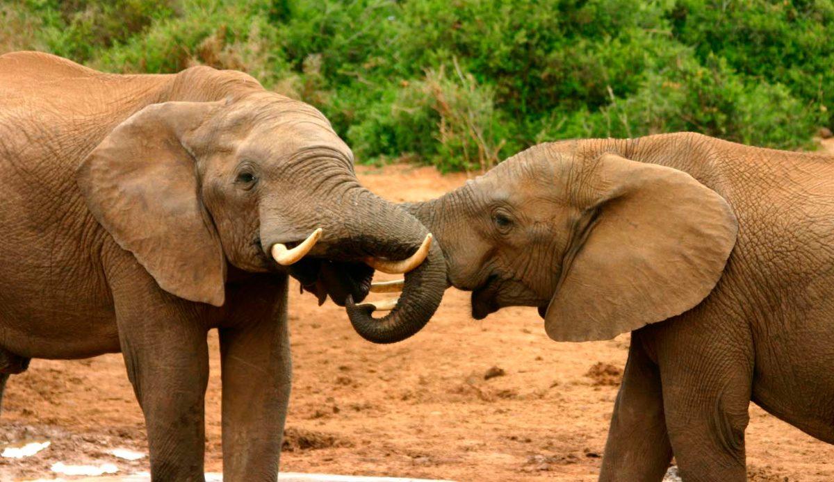 Reproducci n de los elefantes - Como se aparean los elefantes ...
