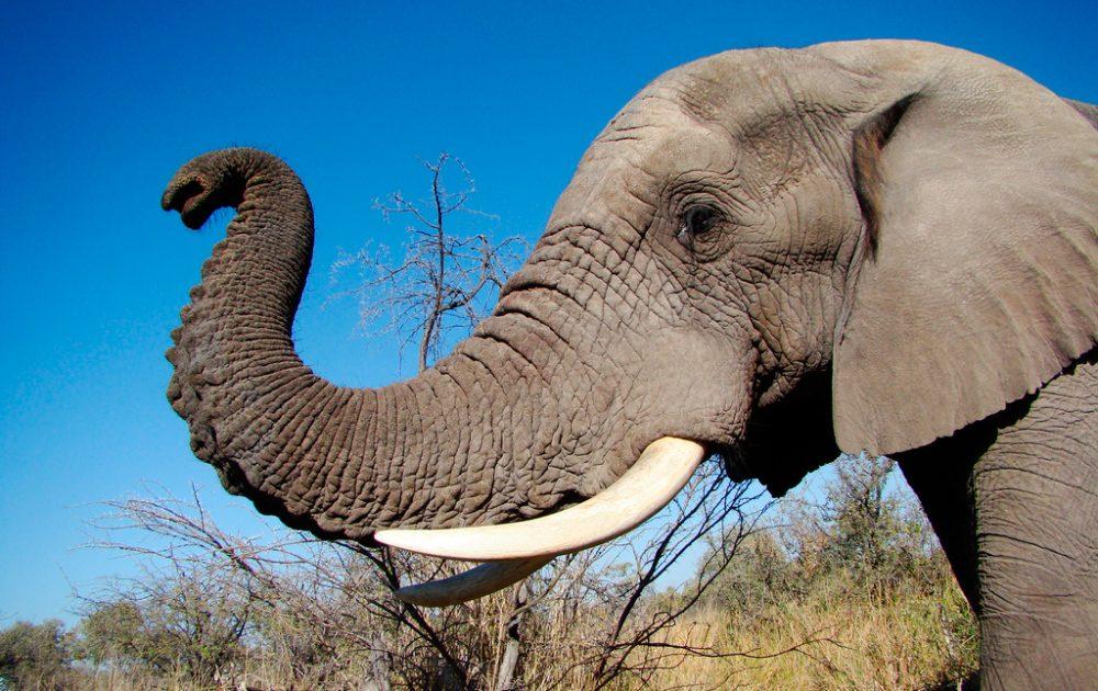 Trompa de los elefantes